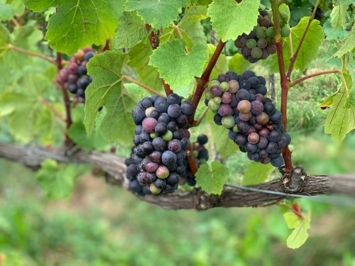 Harvest 2020 in Europe, quality and too much wine?